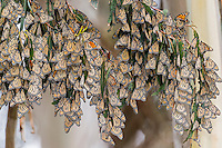 Western Monarch Butterflies (Danaus plexippus) in wintering cluster, coastal California.  Often, at first glance, a cluster of monarchs looks like a clump of dead leaves hanging in a tree.