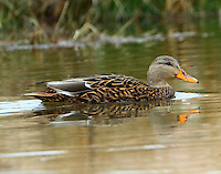 Female Mexican mallard