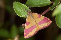 Ampfer-Purpurspanner, Ampferpurpurspanner, Purpurspanner, Purpur-Spanner, Purpurbindenspanner, Purpurbinden-Spanner, Sauerampfer-Purpurbindenspanner,  Vogelknöterich-Purpurbindenspanner, Lythria cruentaria, Lythria rotaria, Purple-barred Yellow, Spanner, Geometridae
