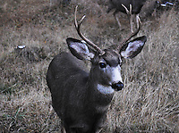 Mule deer buck in the Kootenai National Forest in winter.