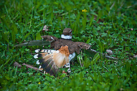 Killdeer feigns injury to lead a supposed predator away from it active nesting area along a bike path at Hoover Reservoir in Westerville, OH..