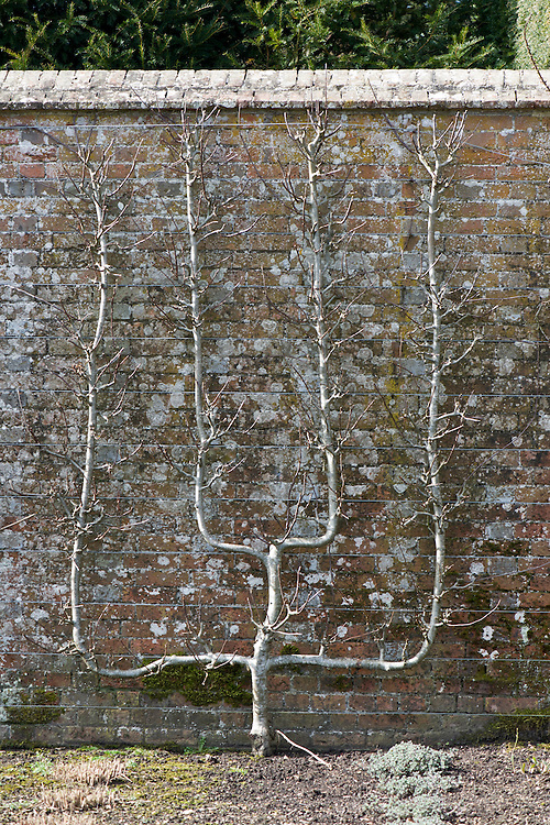 Espalier-trained multiple cordon pear tree, early March.