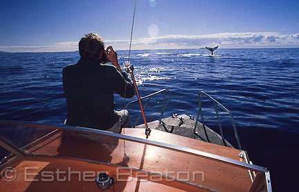 Researcher observing two Humpback Whale diving from deck of small boat. Coff's Harbour, New South Wales. Endangered Species