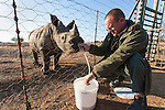 Orphan white rhino (Ceratotherium simum), 'Smurf', ten months old, being bottle-fed by farm manager Johnny Hennop, Elandslaagte game ranch, North West province, South Africa, South Africa, June 2012