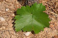 Vine leaf. Pinot Noir. Domaine Henri Bourgeois, Chavignol, Sancerre, Loire, France