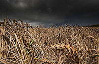 Wet field of wheat and stormy skies, County Durham.