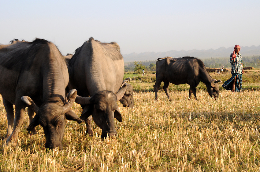 Grazing buffaloes on wheat remnants along the Asan River.