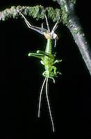 Gemeine Eichenschrecke, Schlupf, Schlüpft, Meconema thalassinum, Meconema varium, drumming katydid, oak bush-cricket, oak bush cricket, Tettigoniidae