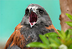 Puna Hawk, Buteo poecilochrous, calling, Peru, captive, found in mountain region, portrait, beak open, sound. .South America....