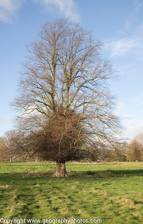 Leafless lime or linden tree with trunk boss shoots in winter stands in grassy field, Sutton, Suffolk, England
