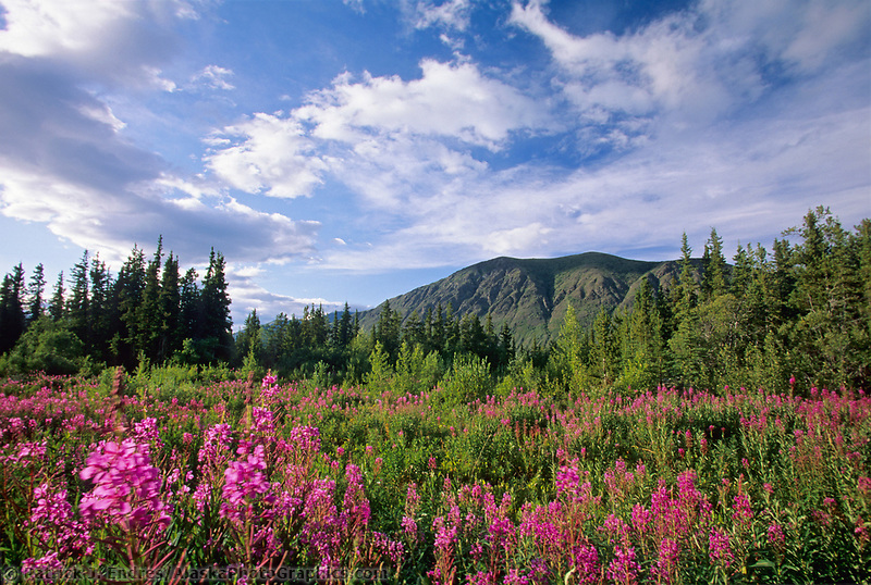 Fireweed along roadside, Alaska