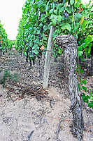 pinot gris old vine sandy soil vineyard brand gc turckheim alsace france