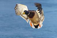 Mallard - Anas platyrhynchos - male