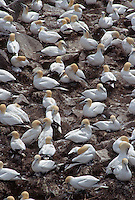 35-B04-GN-051    NORTHERN GANNETS (Sula bassanus) large breeding colony at Bird Rock, Cape St. Mary's Ecological Reserve, Newfoundland, Canada.