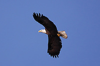Bald Eagle Jenner 2011