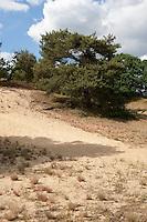 """Binnendüne mit Trockenrasen, Naturschutzgebiet """"Bollenberg"""" bei Gothmann, kleines Dorf bei Boizenburg/Elbe, Mecklenburg-Vorpommern"""