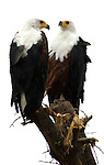 African Fish Eagle, Haliaeetus vocifer, Lake Langano, Ethiopia, perched at treetop, male & female, cut out, white background.Africa....