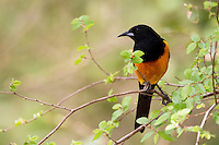 Black-vented Oriole (Icterus wagleri castaneopectus) adult in a tree at the Bentsen-Rio Grande Valley State Park in Mission, Texas.