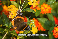 03408-007.02 Red Admiral (Vanessa atalanta) on Red Spread Lantana (Lantana camara) Marion Co.  IL