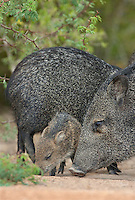 650520182 a wild baby javelina dicolytes tajacu interacts with its mother on beto gutierrez ranch hidalgo county texas united states