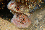 Cute Mating Pair of Downey Blennies