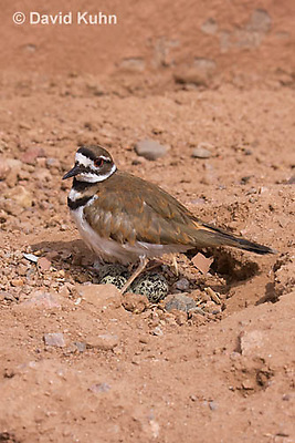 0510-1109  Killdeer, Adult Cooling Eggs in Hot Summer Sun by Shading the Eggs, Charadrius vociferus  © David Kuhn/Dwight Kuhn Photography