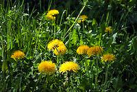 Germany, Baden-Wurttemberg: landscape at Black Forest, meadow with dandelions | Deutschland, Baden-Wuerttemberg, Schwarzwald: bluehende Landschaft im Ortenaukreis, Wiese mit Loewenzahn