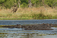 Hippopotamus.  A raft of hippos which spend most of their day in water deep enough to cover them because their thin, naked skin is vulnerable to overheating and dehydration,  Notice the Waterbuck running away in the background. Okavango Delta, Botswana Africa.