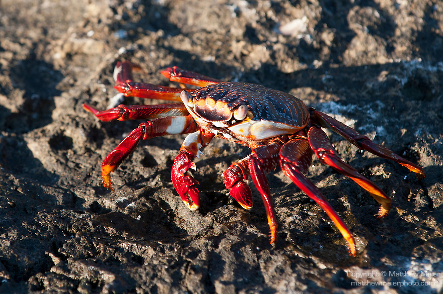 Sea of Cortez, Baja California, Mexico; a Sally Lightfoot Crab (Grapsus grapsus) walking across the rocky shoreline in late afternoon sunlight