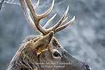 Pennsylvania Bull Elk,  Cervus elaphus