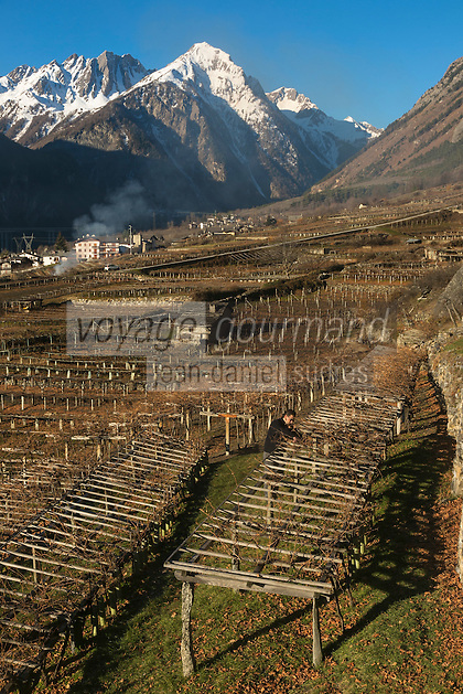 Italie, Val d'Aoste, Morgex: les vignes  d' Ermes Pavese,avec en fond le Mont Chétif// Italy, Aosta Valley, Morgex: Ermes Pavese  vineyards in the background with the Mont Chétif