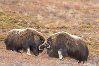 Bachelor herd of Muskox on Anvil mountain, in Nome, Alaska.