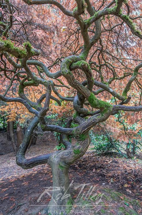 USA, WA, Seattle, Kubota Japanese Garden, Japanese Maple