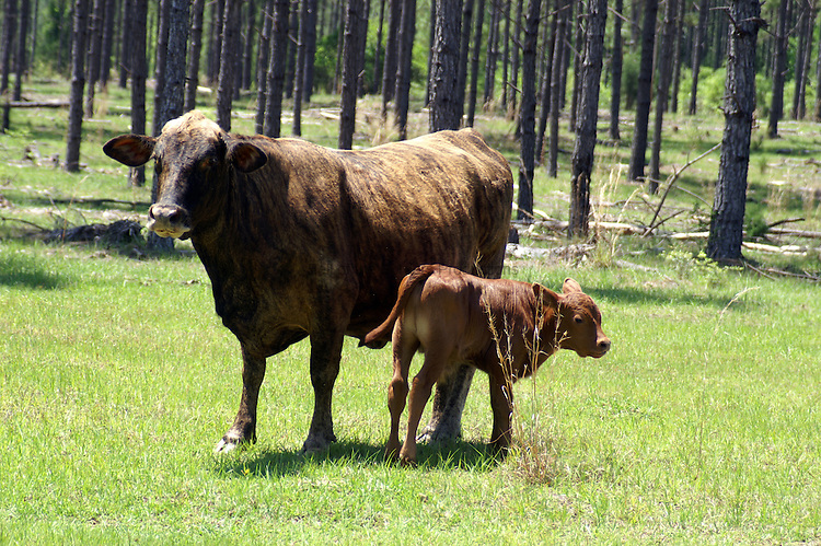 A brindle cow and red calf consider the world.