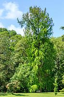 France, Indre-et-Loire (37), Azay-le-Rideau, parc et château d'Azay-le-Rideau au printemps, cyprès chauve