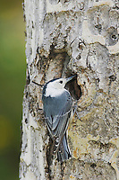 White-breasted Nuthatch, Sitta carolinensis,adult female at nesting cavity in aspen tree, Rocky Mountain National Park, Colorado, USA, June 2007
