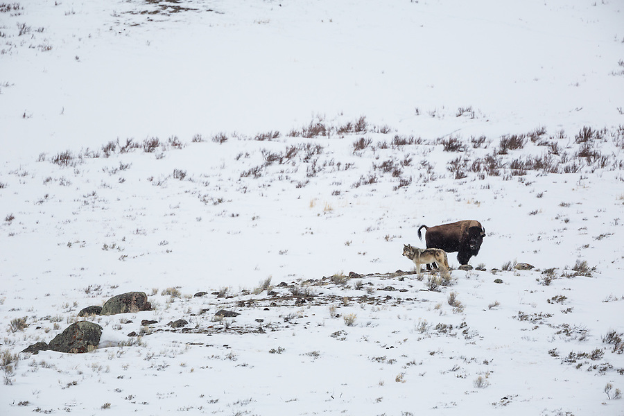 A single gray wolf stands within a few feet of a nervous bison atop a rocky snow-covered hill in Yellowstone National Park, Wyoming.