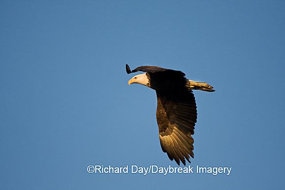 00807-036.07 Bald Eagle (Haliaeetus leucocephalus) in flight over Mississippi River, Alton, IL