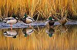 Mallard ducks, Washington State, USA