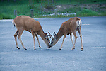 mule deer, Odocoileus hemionis, pair, parking lot, Colorado River Trailhead, summer, morning, Rocky Mountain National Park, Colorado, Rocky Mountains, USA