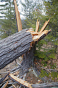 Twisted softwood tree during the spring months along in Albany, New Hampshire USA