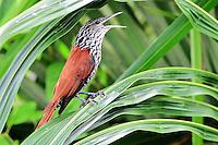 Limpa folha do buriti<br /> Aves da Amazônia.<br /> Roraima, Brasil.<br /> Foto Jorge Macedo