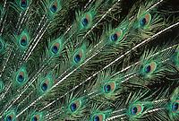 """Blauer Pfau, Ausschnitt aus den prachtvollen Schwanzfedern des Männchen, Hahn, """"Augen"""" aus Federn, Pavo cristatus, common peafowl, peacock, Indian peafowl"""