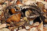 mushrooms growing up through oak leaves