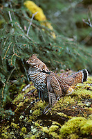 Male Ruffed Grouse (Bonasa umbellus) drumming, spring territorial mating display