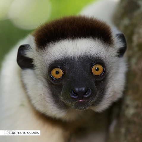 Vereaux's Sifaka Lemur