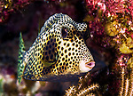 13 June 2014: A Spotted Trunkfish (Ostraciidae) is seen at Schoolhouse Reef, on the North Shore of Grand Cayman Island. Located in the British West Indies in the Caribbean, the Cayman Islands are renowned for excellent scuba diving, snorkeling, beaches and banking.  Mandatory Credit: Ed Wolfstein Photo *** RAW (NEF) Image File Available ***