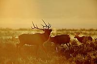 Prancing Bull Elk, Sunrise, Grand Teton National Park