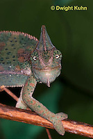 CH51-537z  Female Veiled Chameleon in display color, note eye rotation, Chamaeleo calyptratus