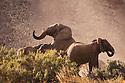 Namibia;  Namib Desert, Skeleton Coast,  desert elephants (Loxodonta africana) mating